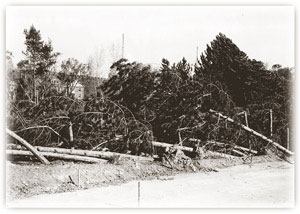 Pines downed by the '38 hurricane